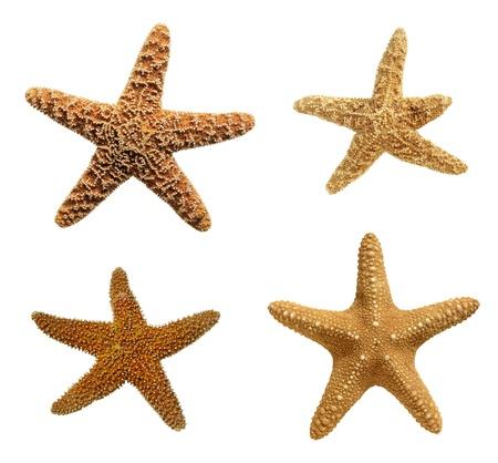 estrella de mar: Las estrellas de mar aislado en el fondo blanco