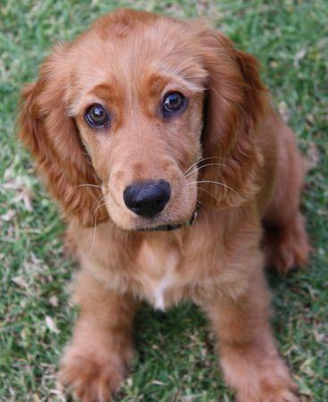 A Golden Cocker Spaniel puppy sitting on grass