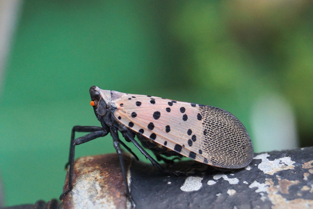 Spotted lanternfly sits on a porch railing in Lehigh County, Pennsylvania.