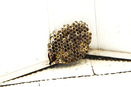 Asian paper wasp crawls around its nest.
