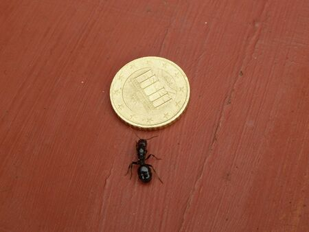 big black ant next to 50 euro cent coin photo