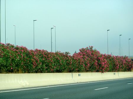 oleander bushes on a freeway photo