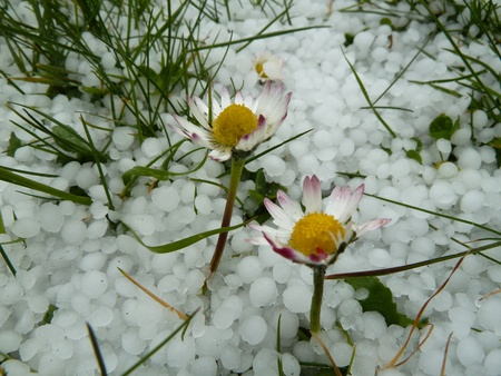 hail: two flowers survive after a hail storm