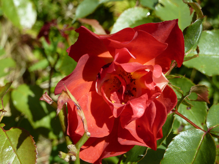 red bush tea: Bright red flower head on a tea rose bush