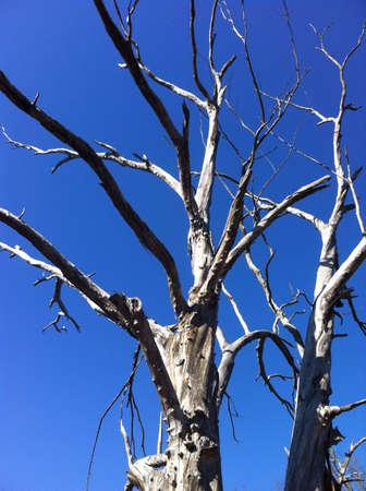 arbre mort: Arbre mort ciel bleu  Banque d'images