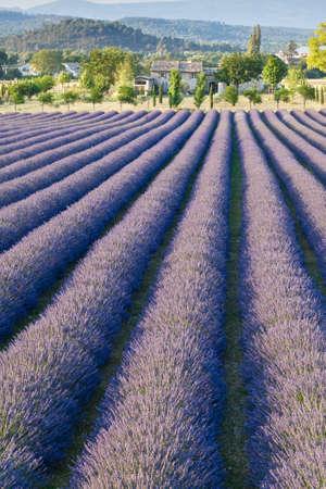 lavender field: Lavender field in Provence