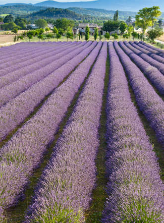 regimented: Lavender field in Provence