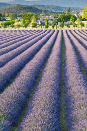 Lavender field in Provence photo
