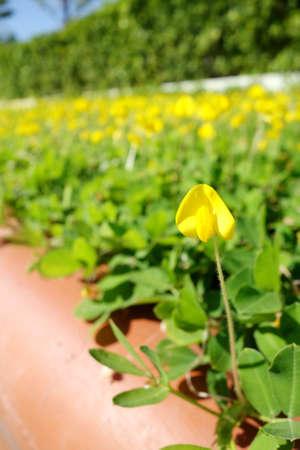 flower leaf: pinto peanut flower in garden