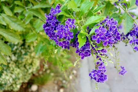 Duranta repens L. ; Duranta erecta L. ; Sky flower ; Golden dew drop; Pigeon berry