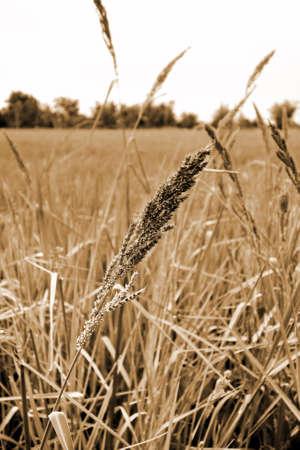 hay field: Hay field , sepia tone