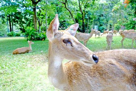 missouri wildlife: Deer in Zoo Stock Photo