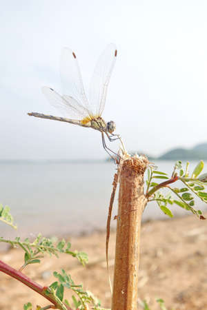 dropwing: dragonfly on a twig with the lake in the background.