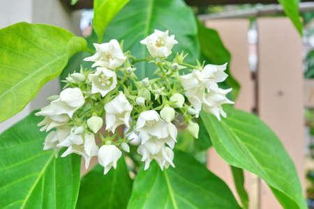 aromatic: Bread Flower,white fragrant, aromatic exotic tropical flower