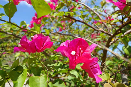 bougainvilleas: Pink Bougainvilleas or Paper flower