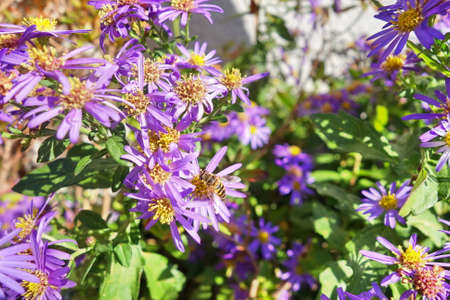 apocrita: bee clinging to a purple wildflower