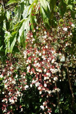 nodding: Nodding Clerodendron Clerodendrum wallichii flowers Stock Photo