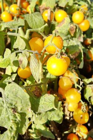 lycopene: Ripe and Raw Tomatoes on tree. Stock Photo