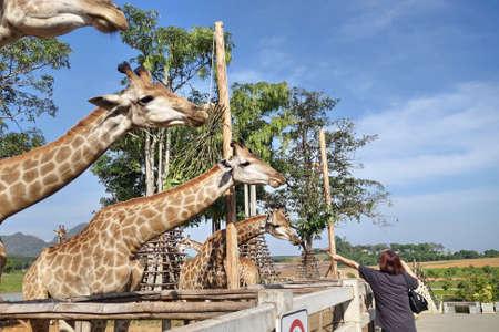 zoologico: mujer de la alimentación jirafa en el zoológico