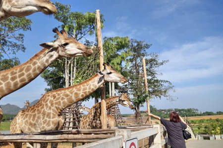 zoo animal: woman feeding giraffe in zoo
