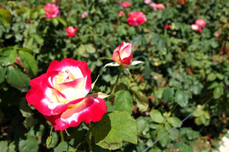 delight: Double Delight Rose Stock Photo