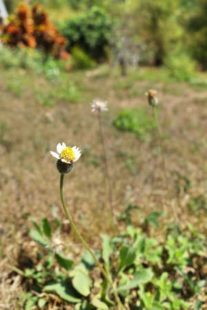 grassy: Grassy flower (Coat buttons, Mexican daisy)