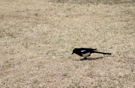 pica: European magpie, Common magpie (Pica pica) bird standing on a ground. Stock Photo