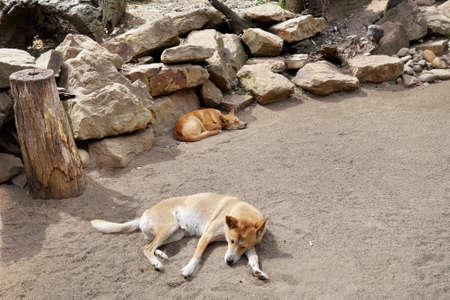 the pair: pair of Dingo dogs