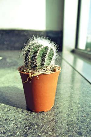 Small cactus in a flowerpot near window with sun light