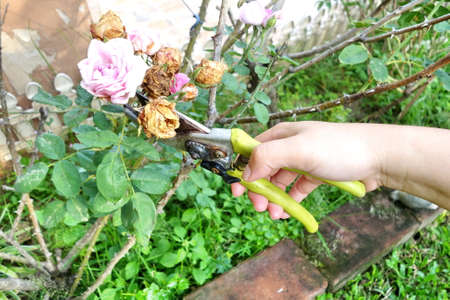 hand pruning and trims the dried rose bush with secateurs in the garden.