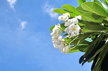 frangipani with blue sky