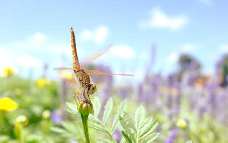 dragonfly on bud with flower garden in background.