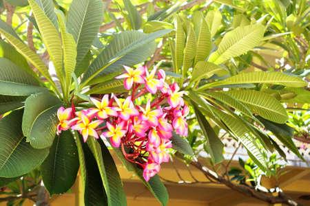 subtropical: pink frangipani flower