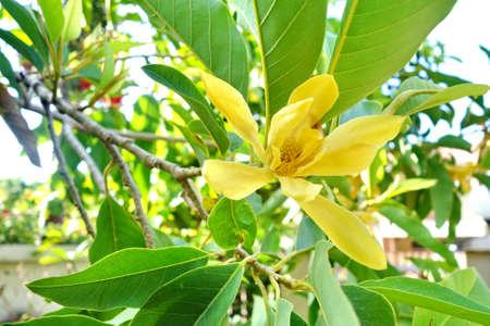 나무에 노란 목련 알바 꽃입니다. 스톡 콘텐츠