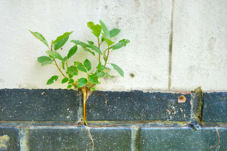 Plant grow in concrete wall. Stock Photo
