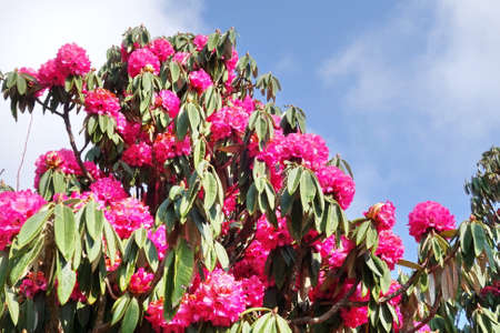 Rhododendron pink flower fresh blooming on morning light. The countrys national flower of Nepal