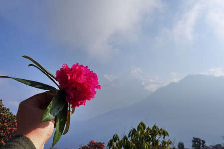 woman hand holding pink fresh rhododendron flower, national flower of Nepal with mountain in the background.