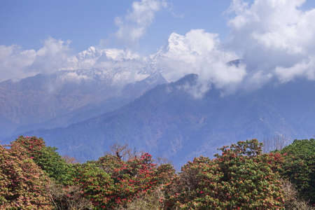 Beautiful mountain in Annapurna with spring blossoming rhododendron forest, Nepal.