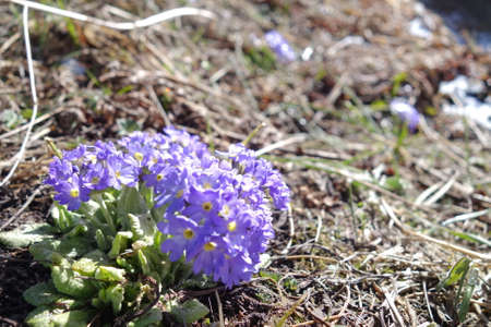 Primula denticulata (Drumstick Primula) or  Purple spherical Primulas along the way of trekking to Annapurnal base camp.
