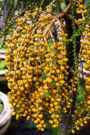 Areca nut or areca catechu on tree