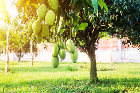 Mangoes on the tree,Fresh fruits hanging from branches,Bunch of green and ripe mango