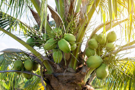 Coconut green fresh fruit on the tree at tropical forest