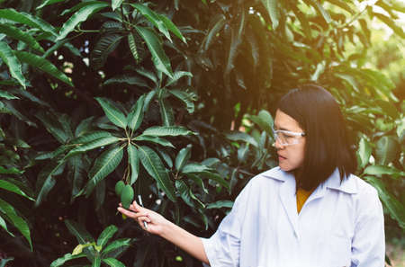 Asian woman researcher examining mango fruit and study information data in the garden Stock Photo
