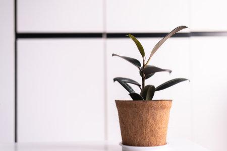 Beautiful Rubber Plant on shelf interior design of living room,Cozy home