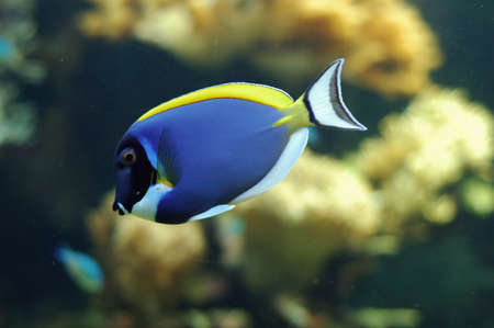 blue fish: Blue fish swimming