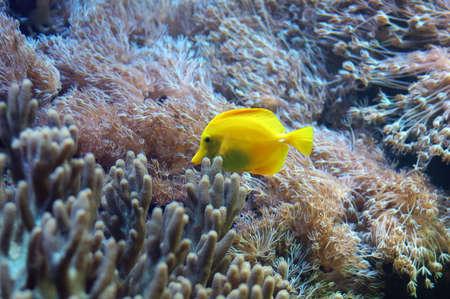 amongst: Yellow fish swimming amongst corals