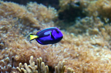paracanthurus: Royal blue tang fish