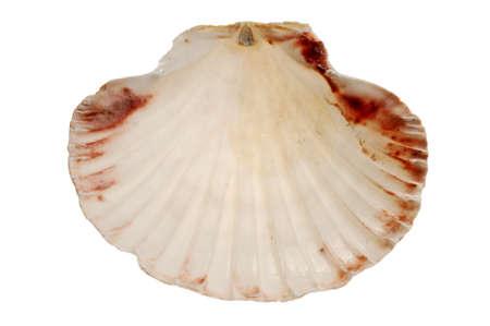 seashell: Seashell Stock Photo