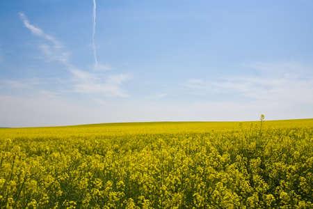 rape plant: Summer landscape