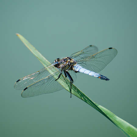 damselfly: Close up of a dragonfly Stock Photo